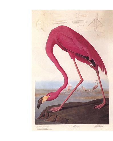 Audubon Flamant rose